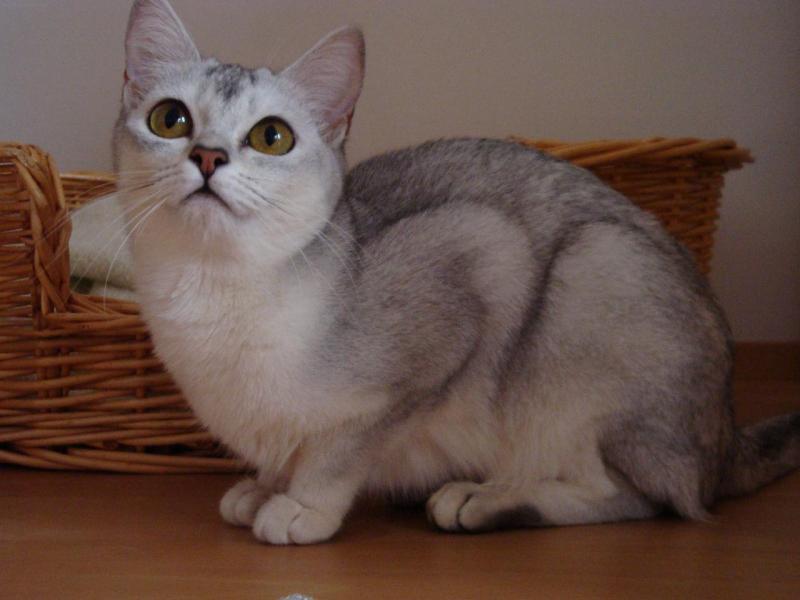 Бурмилла короткошерстный кот