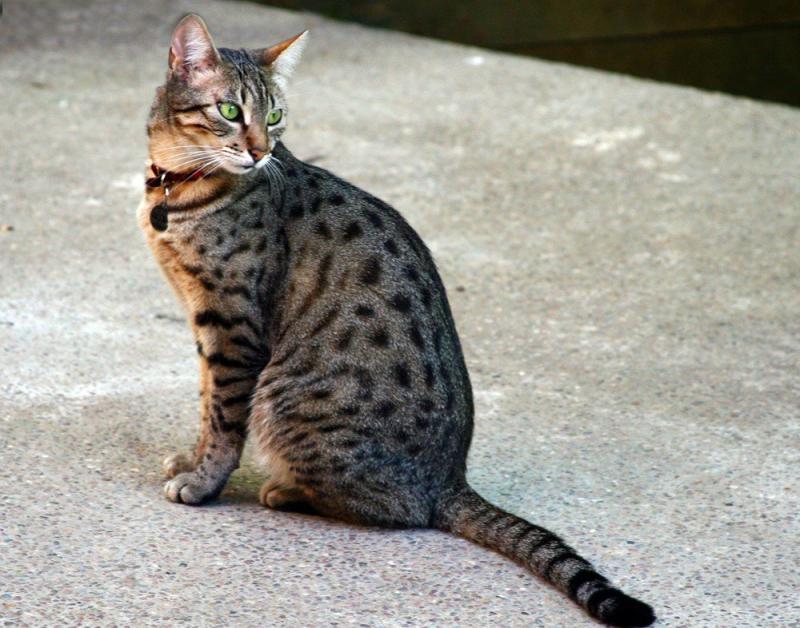 Кошки канаани